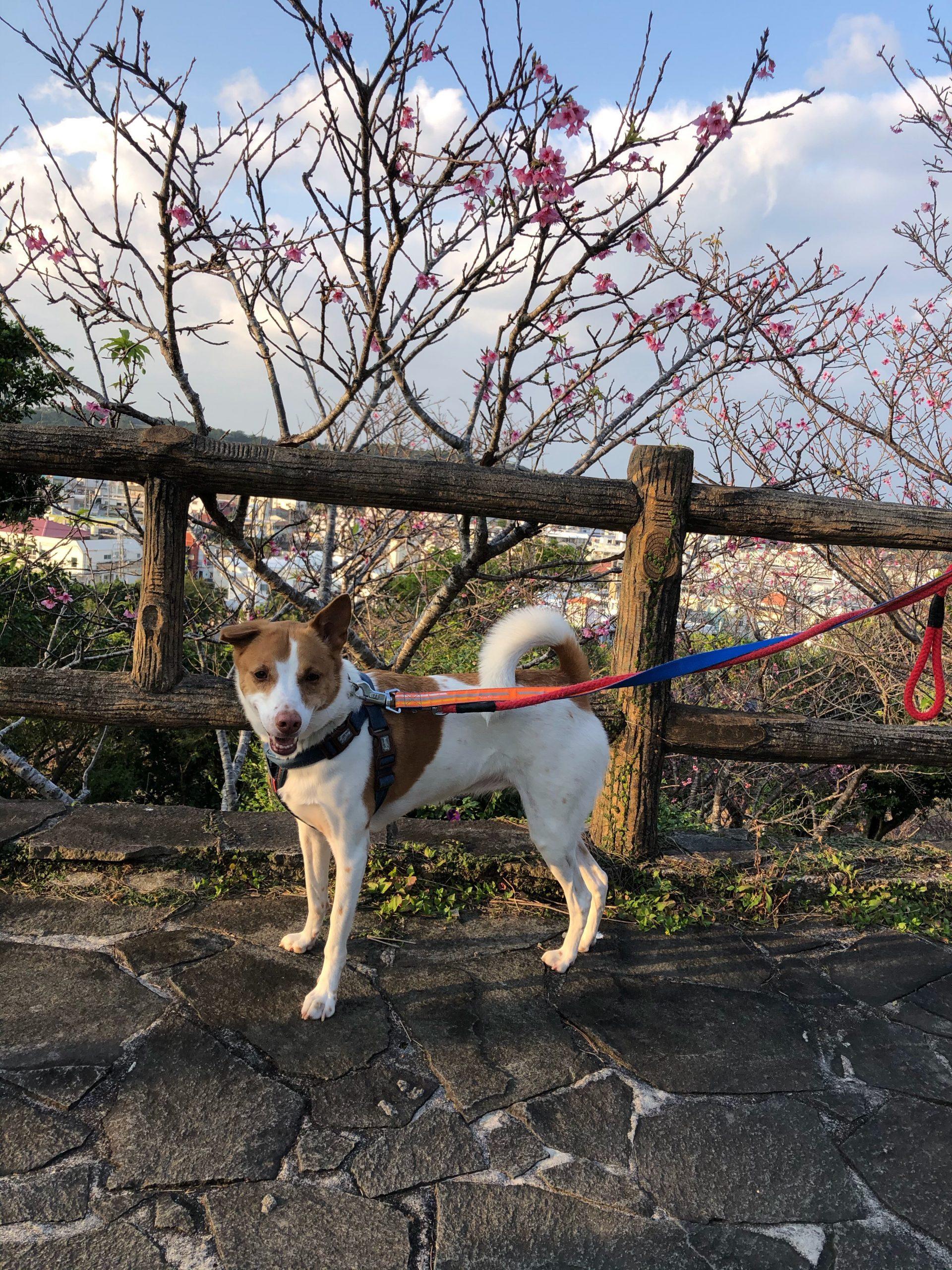 マロンちゃんと桜